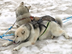 Two of the dogs in my sledding team. It's tough to tell in this photo, but they are HUGE