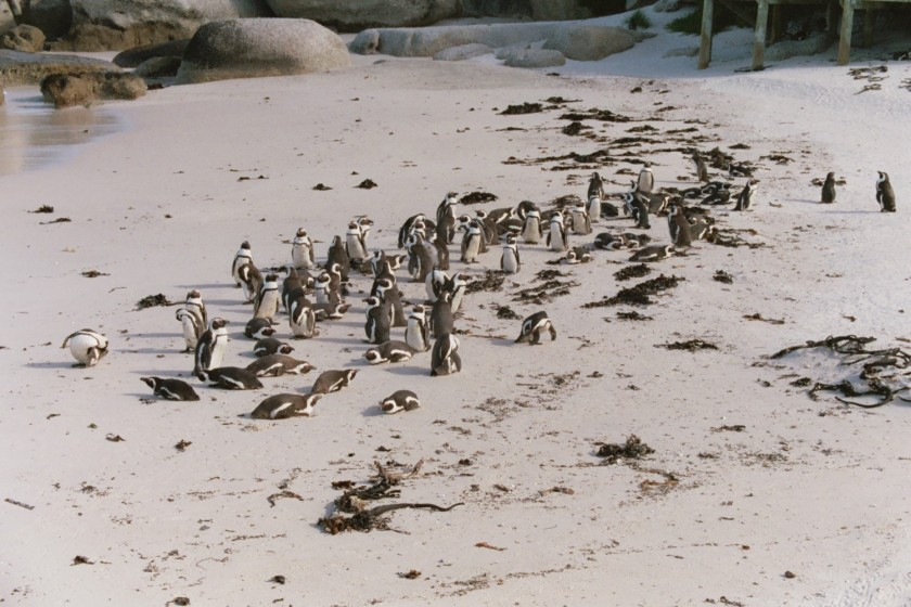 The penguin flock at Simmons Town, just kinda hanging out because they were molting.