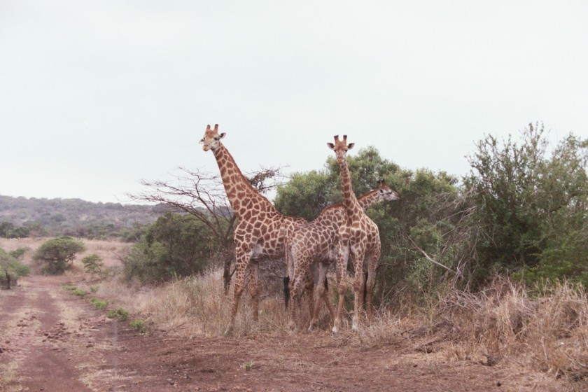 Rush hour on Phinda Private Game Reserve